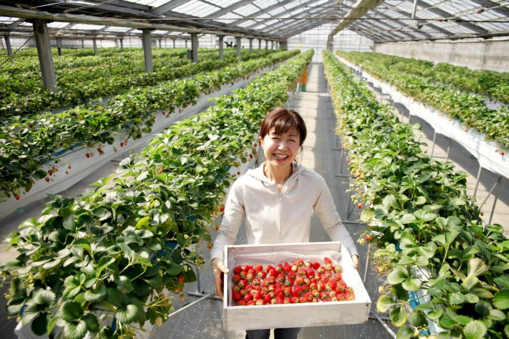 A woman carrying a basket full of bright red strawberries in a greenhouse in Fukuoka, Japan.