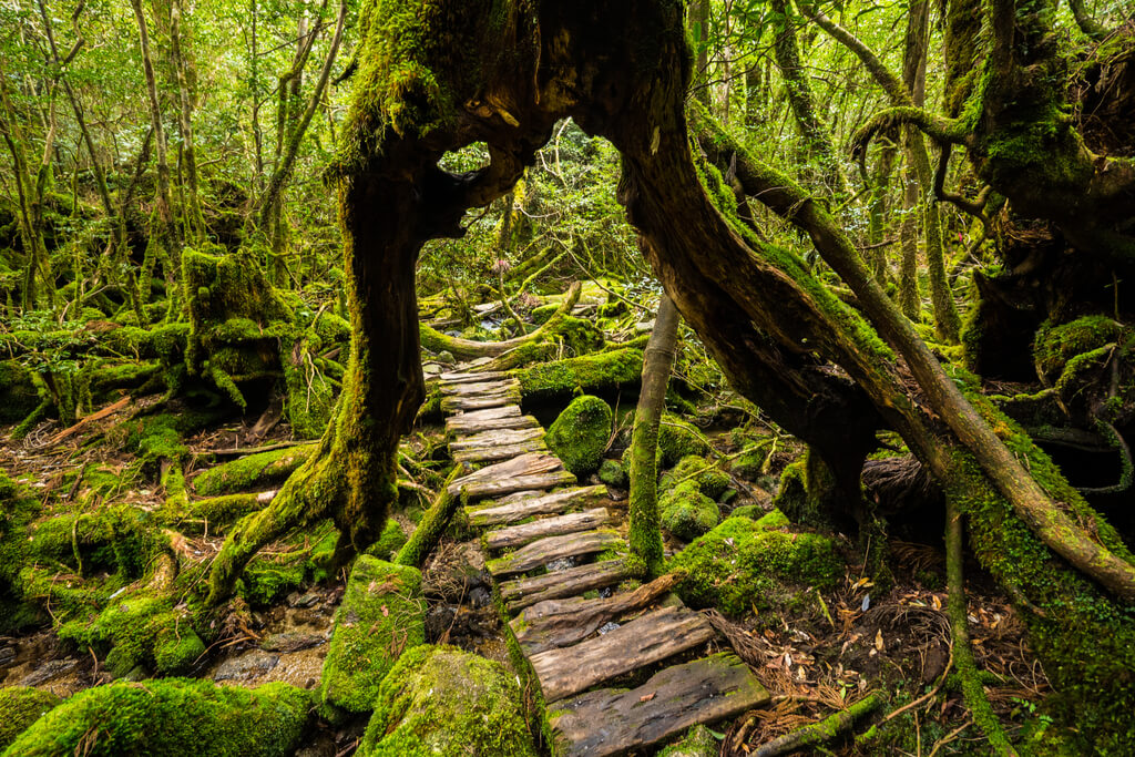 The beautiful hiking trail on Yakushima with a wooden trail cutting under a tree with many moss-covered stones and trees around it.